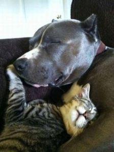 pitbulls loving on cats